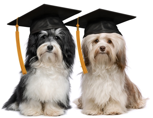 Two dogs with graduation caps.